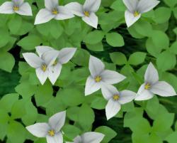 Trillium Plant.png